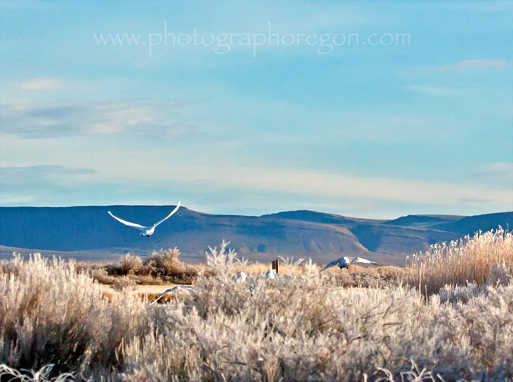 tundra swans flying