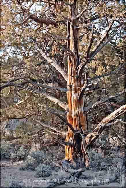 The Badlands Ancient Juniper Tree