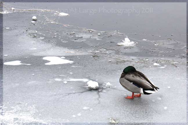 Drake Park Duck on Ice