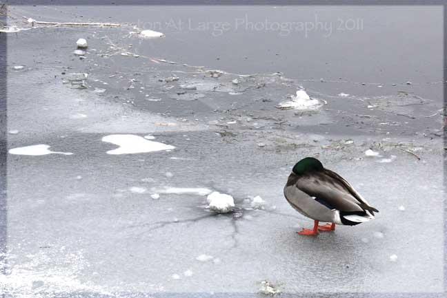 Drake Park Duck on Ice