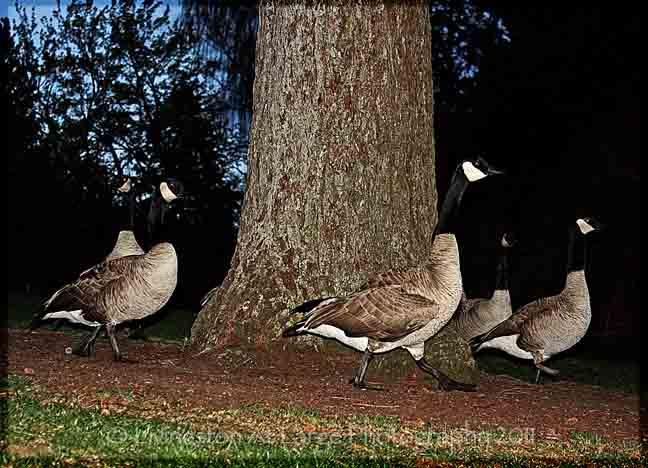 Drake Park Geese