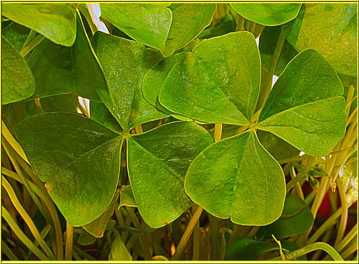Saint Patrick-Shamrocks