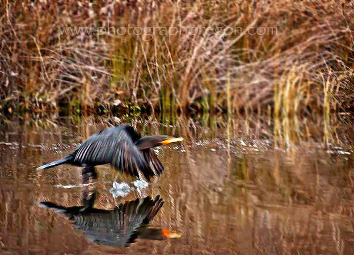 Oakridge Cormorant