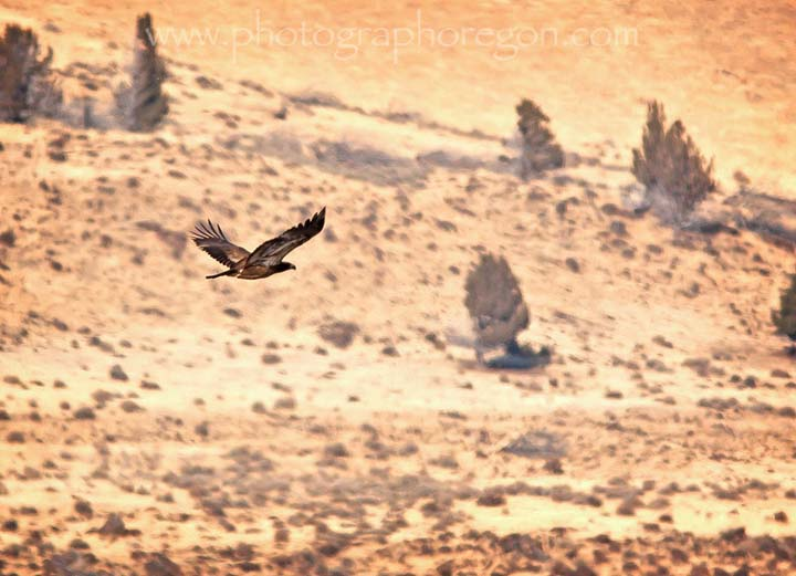soaring harrier hawk