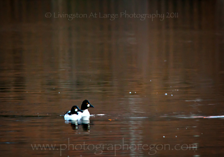 Common Goldeneye Ducks