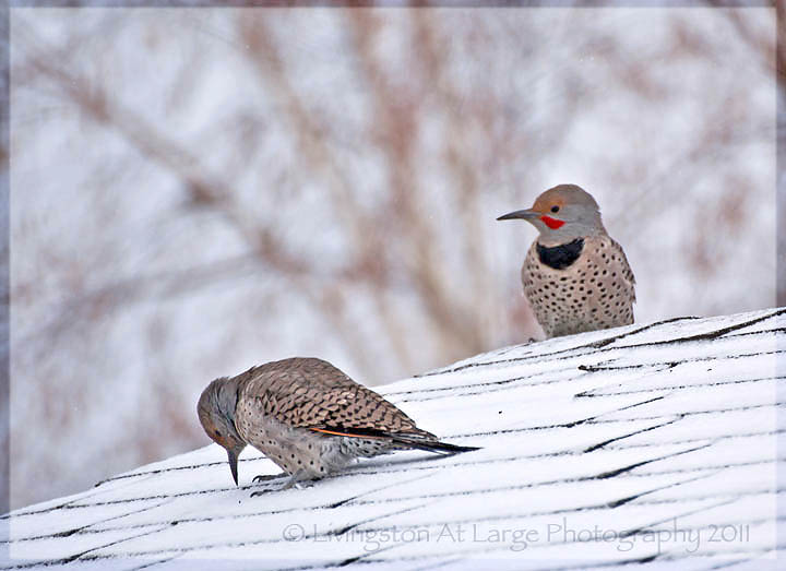 Northern Flicker pair