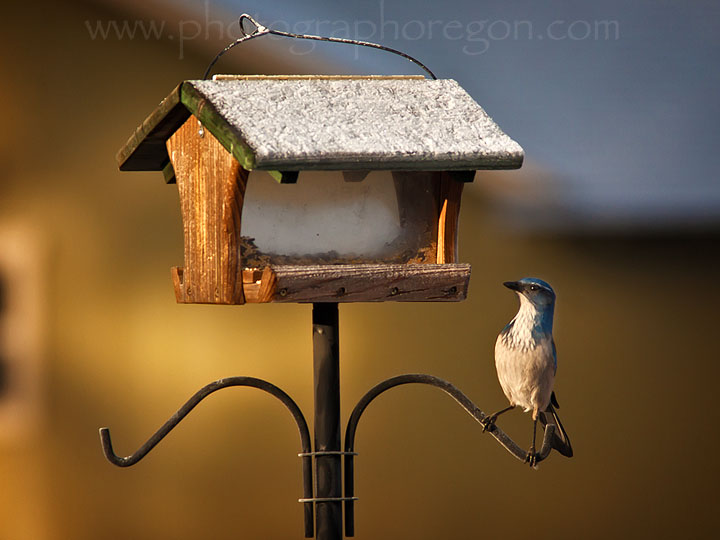 Oregon Birds-backyard scrub jay