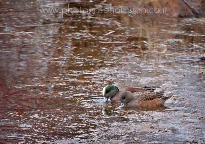 Oregon bird American Wigeon