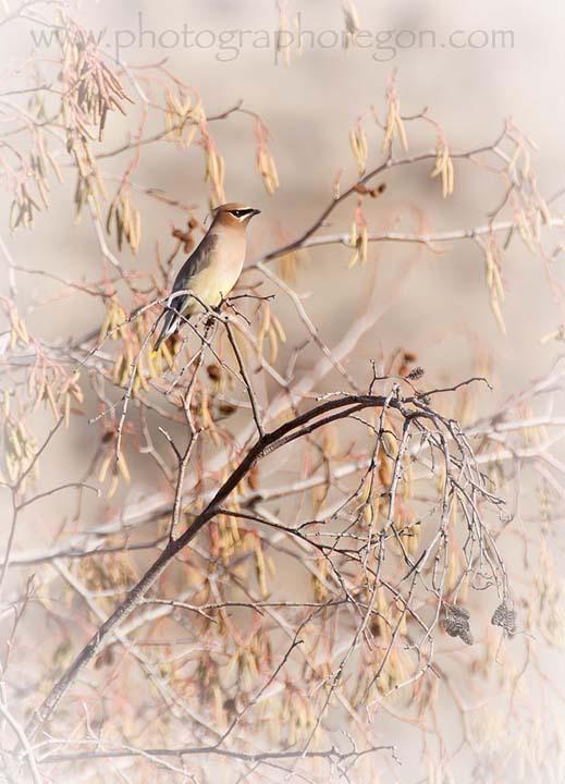 Oregon birds cedar Waxwing