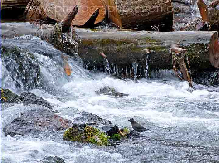 Oregon bird dipper