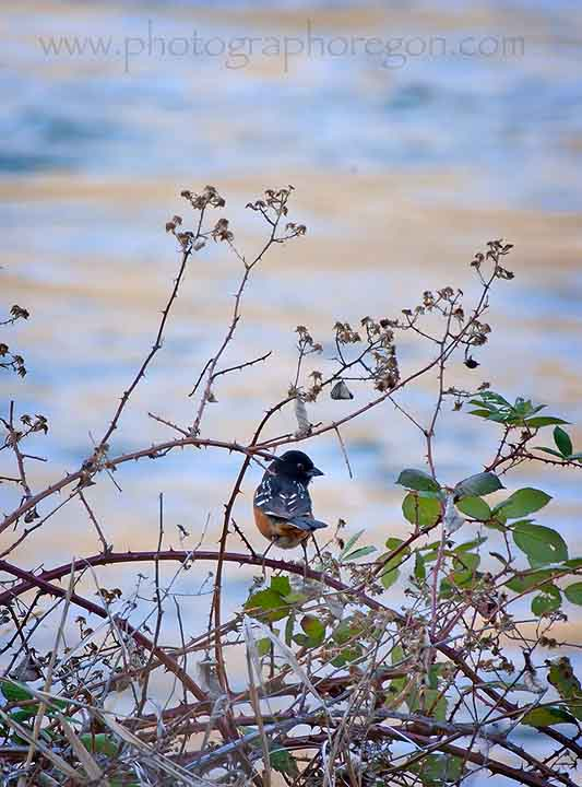 Oregon Birds Spotted Towhee