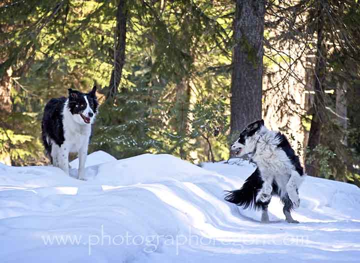 Border Collies in Snow