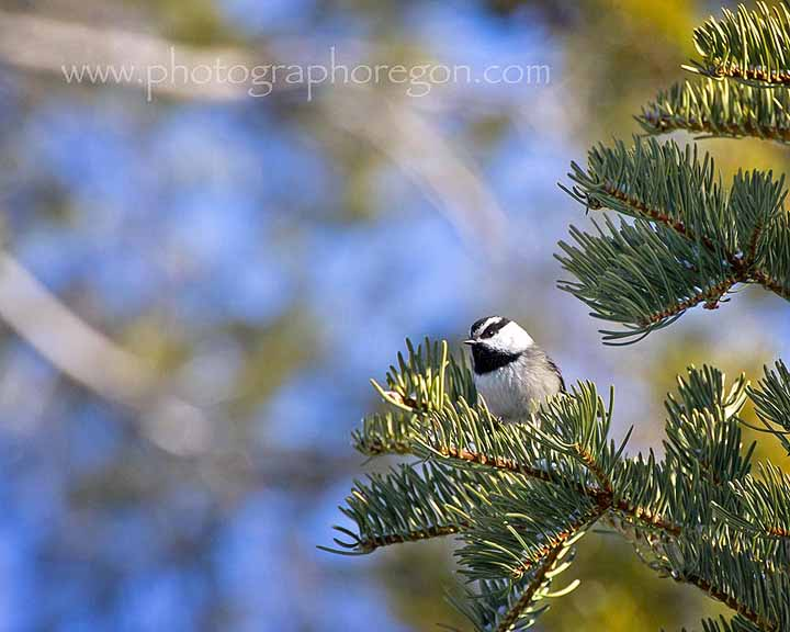 Oregon Mountain Chickadee