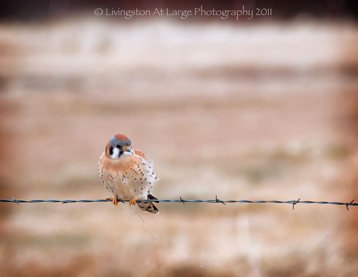 cold little kestrel