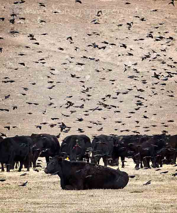 Blackbirds and cows