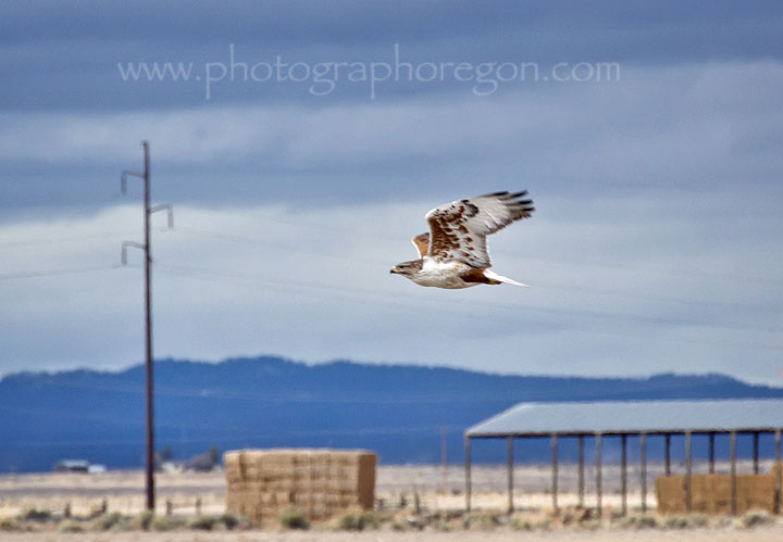 Ferruginous Hawk in Oregon