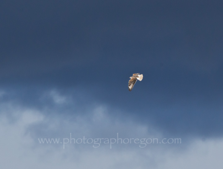 Ferruginous hawk in storm