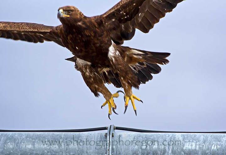 Oregon golden eagle