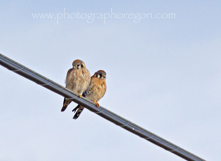 Pair of Kestral Falcons