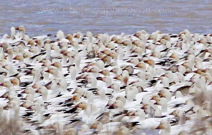 goose migration Summer Lake Oregon