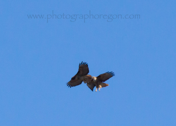 Red-tailed Hawks sparing