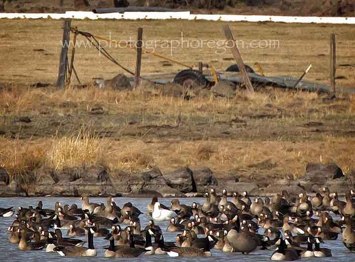 Oregon geese