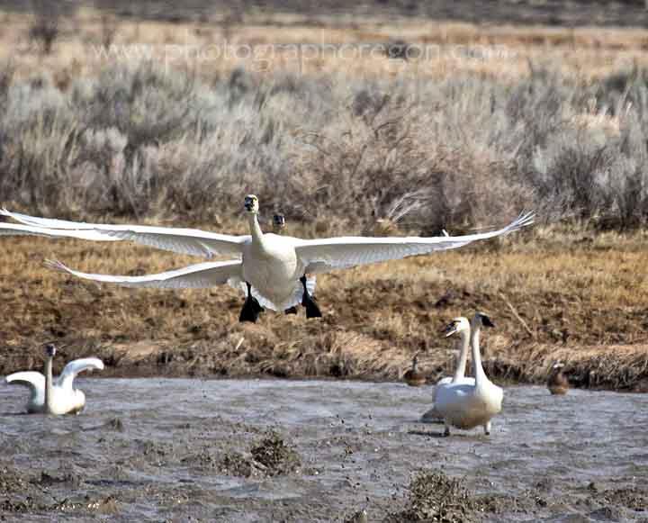 Summer Lake Oregon Snow Geese