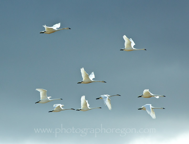 Summer Lake Oregon Snow Geese flying
