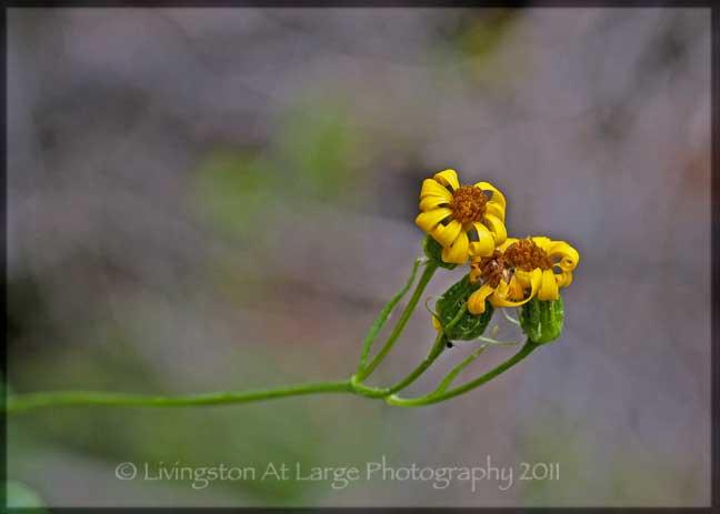 Crater Lake yellow wildflowers