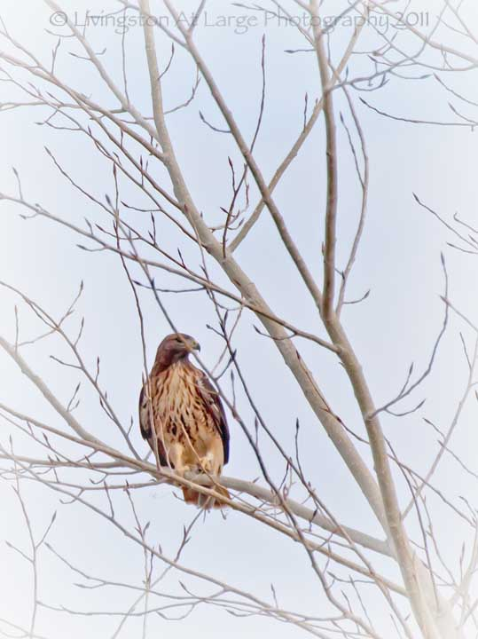 red tailed hawk with vole