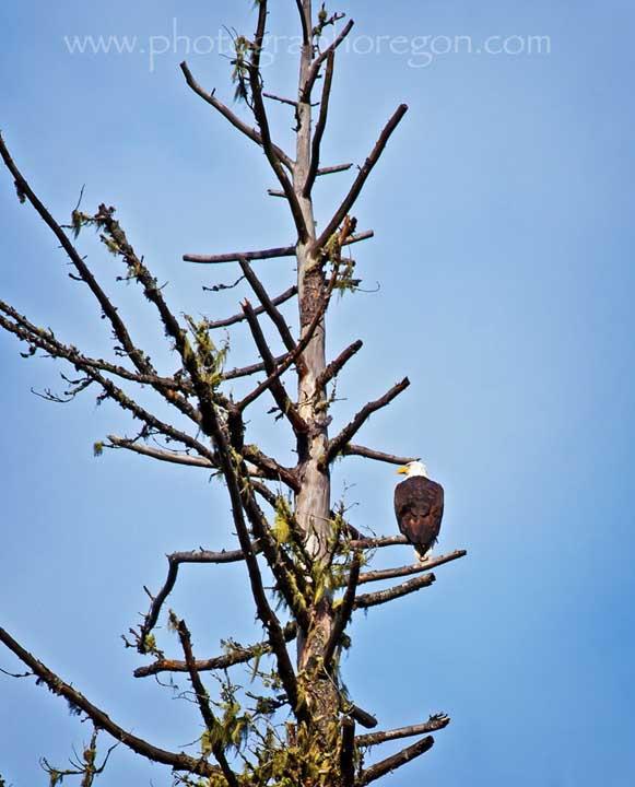 Oakridge juvenile bald eagle