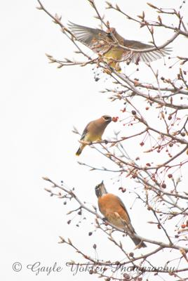 Cedar Waxwings and Robin  in Winter