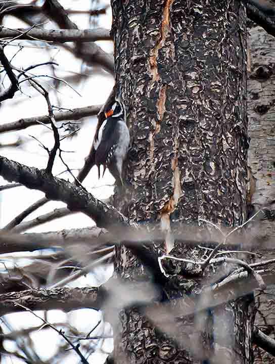Oregon bird hairy woodpecker