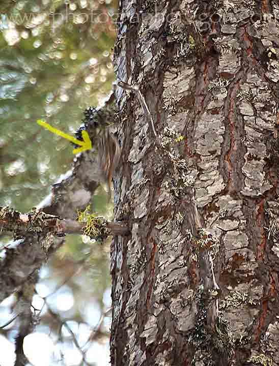 Oregon birds brown creeper