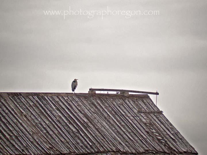 Great Blue Heron on Barn