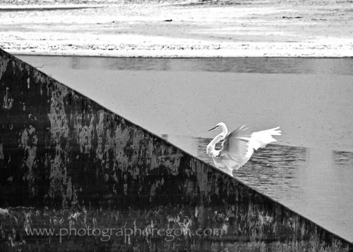 Oregon Bird Great Egret