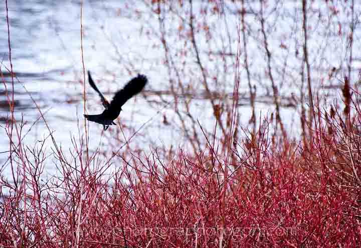 Red-Winged Blackbird flying
