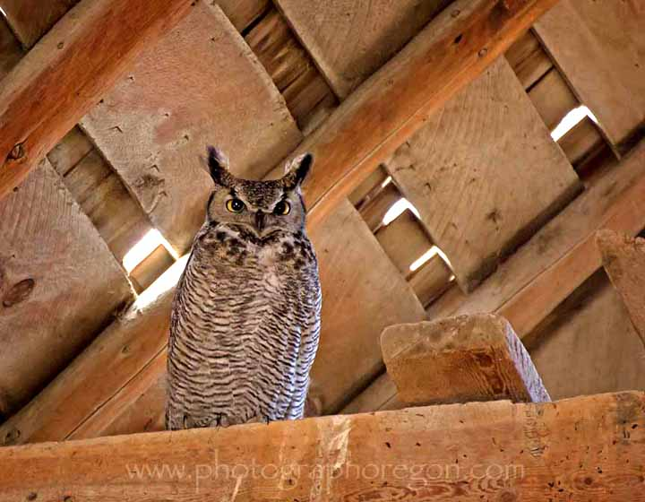 Great Horned Owl in Barn